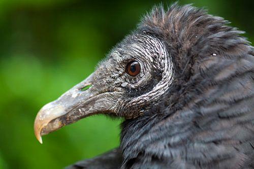 Portret zwarte gier. van