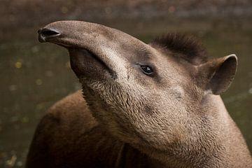 Tapir von Renate Peppenster