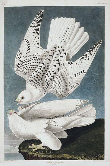 Giervalk van Birds of America