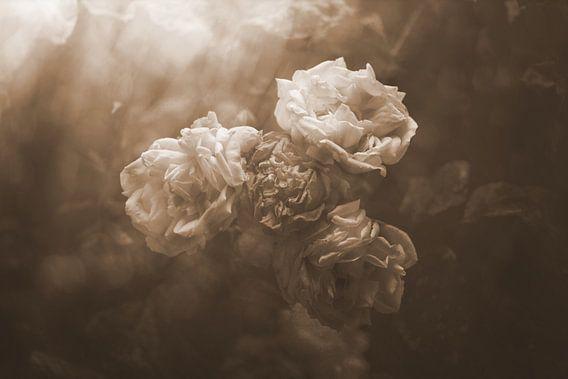oude rozen