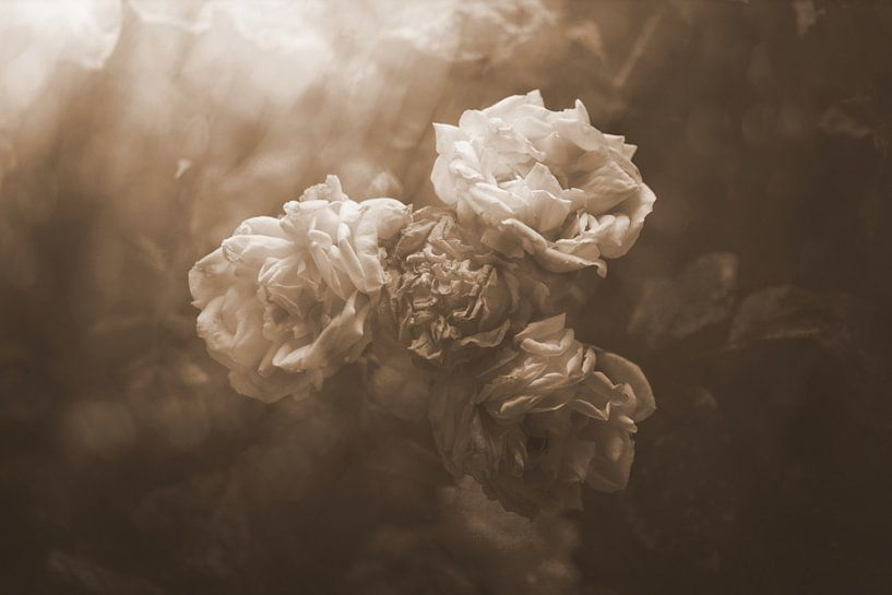 oude rozen van Ribbi The Artist