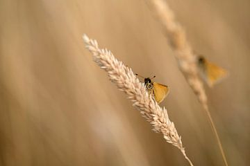 Vlinders in het gras van Gonnie van de Schans
