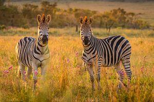 Zebras schauen in die Kamera.