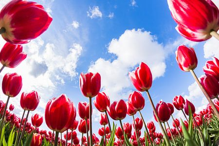 Tulipes Néerlandaises sur Frenk Volt