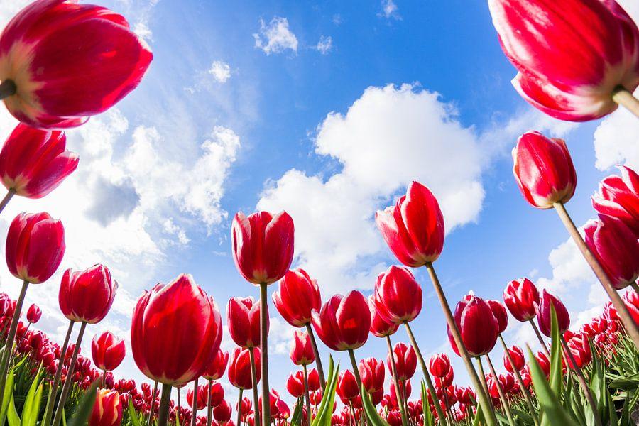 Interieur Hollandse Tulpen : Hollandse tulpen van frenk volt op canvas behang en meer