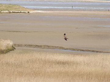 Roofvogel de Bruine Kiekendief Jaagt boven het Riet bij Kwade Hoek - Schilderij