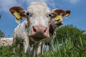 Koe is nieuwsgierig van Ans Bastiaanssen