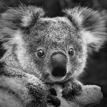 Koala baby van Frans Lemmens
