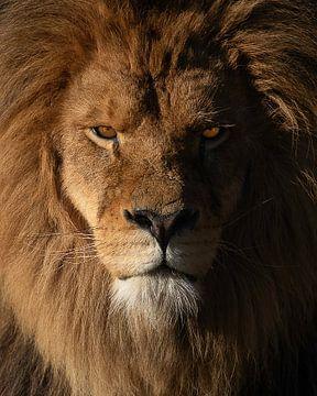 Beeindruckender Löwe mit intensiven Augen während der goldenen Stunde von Patrick van Bakkum