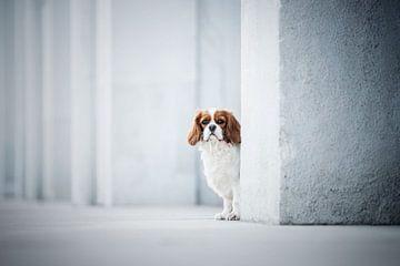 Kavalier-King-Charles-Spaniel-Hund von Lotte van Alderen