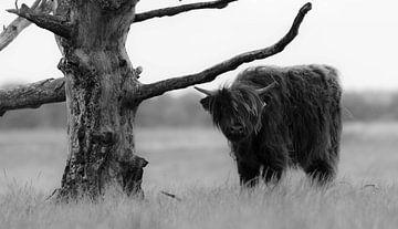 Schottischer Highlander 10 von Jan Peter Nagel