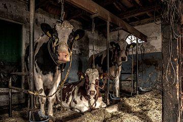 Kuhe im alten Kuhstal von Inge Jansen