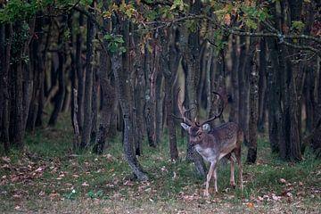 Mannetjes damhert komt uit een donker bos tevoorschijn. van Albert Beukhof