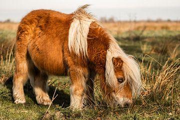 Poney Shetland sur Jeroen Mikkers