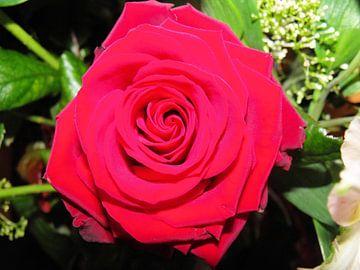 The red rose von Il se