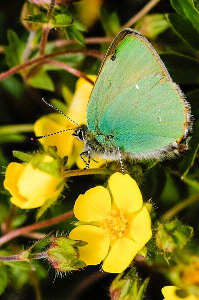 Groene vlinder op gele bloem, Groentje op kruipganzerik