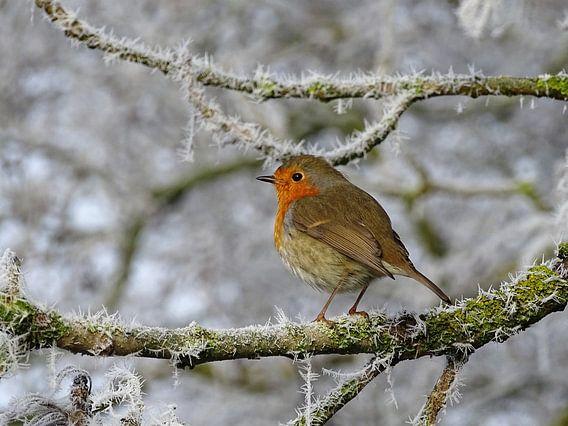 Roodborstje in de winter, op een tak met rijp