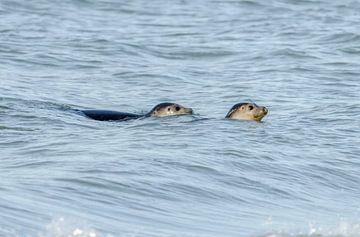 Zeehonden van Ans Bastiaanssen