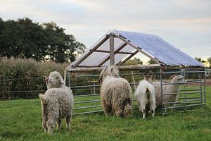 Geiten en schapen van Jasper van Dijken