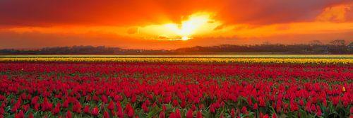 Bloembollenveld tijdens de zonsopkomst van