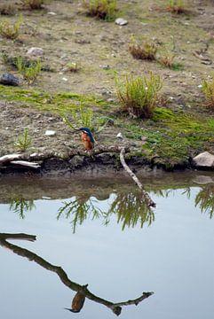 IJsvogel  met reflectie in het water von David Klumperman
