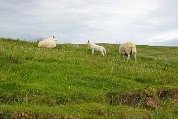 Schapen in Schotland van Babetts Bildergalerie
