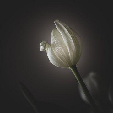 Eine blühende weiße Tulpe im Licht von Jefra Creations