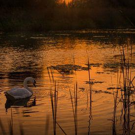 Zwaan in meer tijdens gouden zonsondergang van Mayra Pama-Luiten