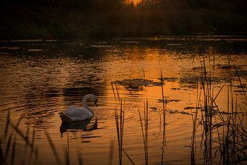 Zwaan in meer tijdens gouden zonsondergang