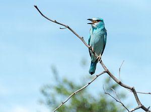 blue european roller in kruger national park