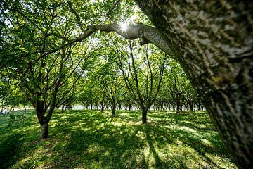 Prachtig mooi zonlicht tussen een fruitboom plantage. van Fotografiecor .nl