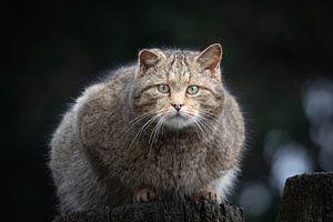 Wilde kat (Felis silvestris) van Anton Van Beek