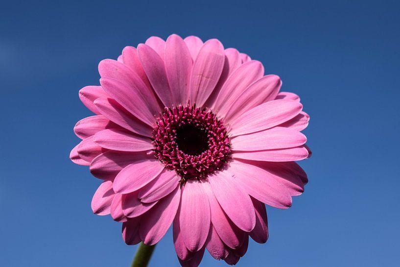 Roze gerbera van Angela Wouters