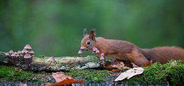 Rode eekhoorn snuffelt aan paddenstoelen van Marcel  Klootwijk