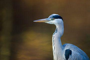 Gray Heron ( Ardea cinerea ), close-up, portrait, head shot van wunderbare Erde