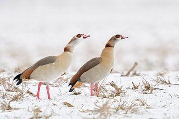Nilgaense ( Alopochen aegyptiacus ), Pärchen im Winter, droht Konkurrenten, wildlife, Europ von wunderbare Erde