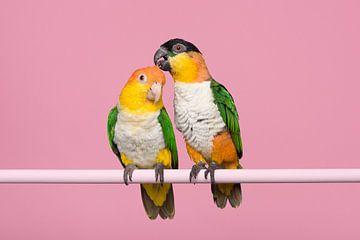 Caique love birds van Elles Rijsdijk