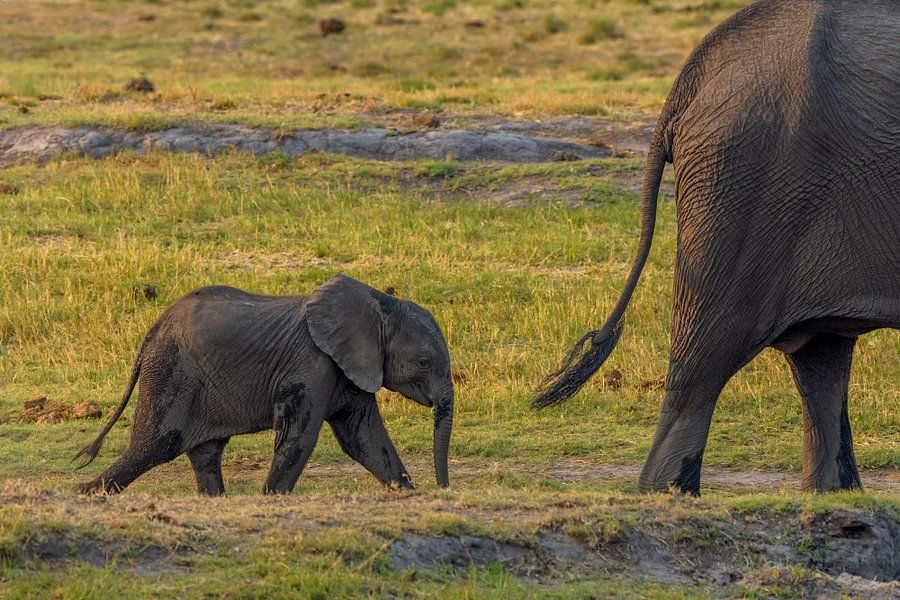 Olifant jong volgt moeder