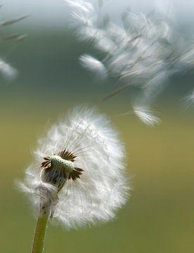 Dandelion in the wind. sur Johan Kalthof
