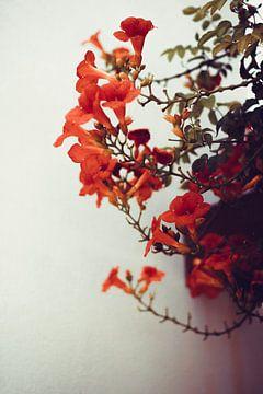 Orangefarbene Frühlingsblumen vor weißer Wand von AIM52 Shop