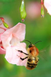 Bee on flower with dew