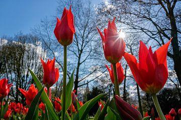 Rote Tulpen aus Holland von Chihong