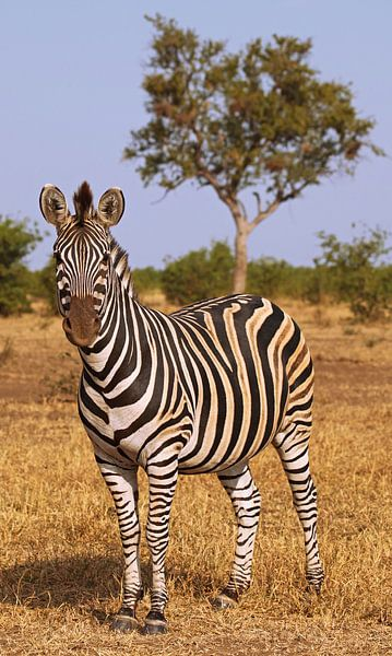 Zebra in South Africa - Afrika wildlife van W. Woyke