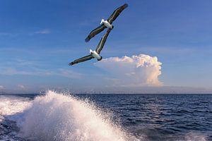 Panama pelikanen van Alexander Schulz