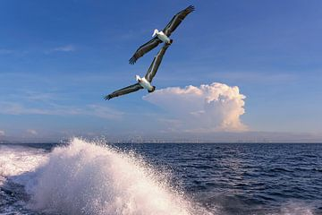 Panama Pelikane von Alexander Schulz