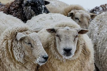 schaap in sneeuwstorm van Henk Bogaard