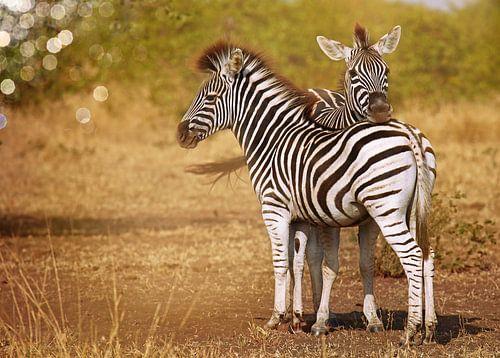 Zwei junge Zebras, Südafrika