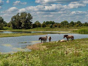 Konik-Pferde von Hans Hendriks