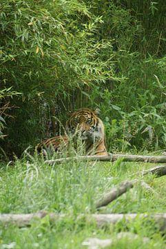 Loerende Sumatraanse tijger von Ronald en Bart van Berkel
