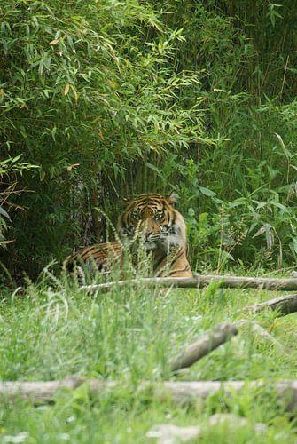 Loerende Sumatraanse tijger